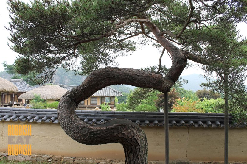 bukchondaek - hahoe tree