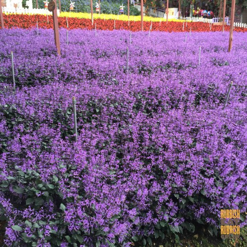cameron highlands Lavender Farm